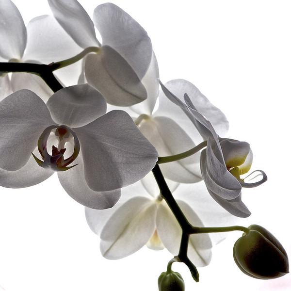 orchid-8_l